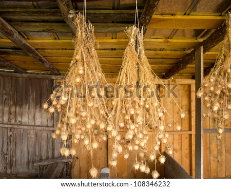 Bunches of drying Nigella plant herbs hanging from rafters of wooden barn