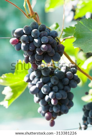Bunches of grapes hanging on the wine