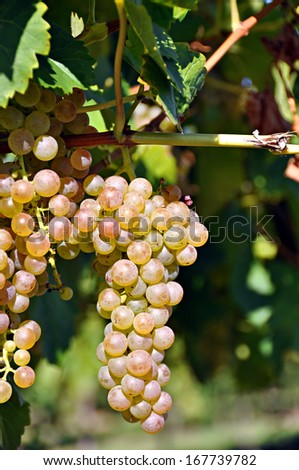 Bunches of grapes on a vine - stock photo