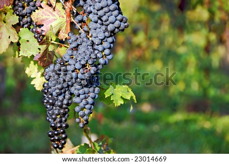 Bunches of grapes on a vine. Niagara-on -the-Lake, Ontario, Canada - stock photo