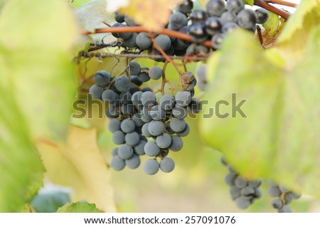 bunches of red grape at vinery - stock photo