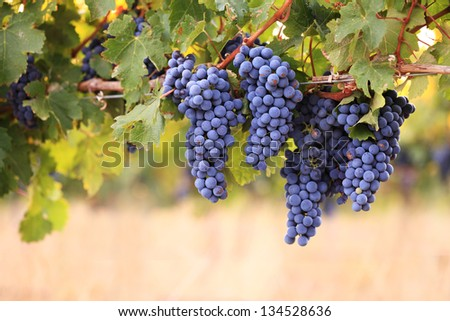 Bunches of red grapes on vine in warm light - stock photo