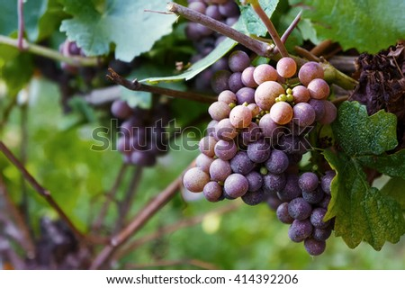 Bunches of red wine grapes growing in Italian fields. Close up view of fresh red wine grape in Italy. Vineyard view with big red grape growing view. Ripe grape growing at wine fields. Ripe red grape. - stock photo