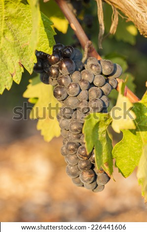 Bunches of red wine grapes hanging from old vine in warm afternoon light