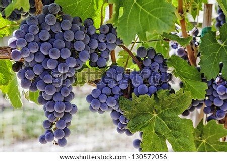 Bunches of red wine grapes hanging on the wine in late afternoon sun - stock photo
