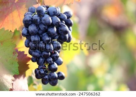 Bunches of ripe grape on plantation closeup - stock photo