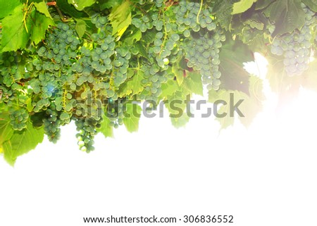 Bunches of Unripe Green Grapes in a Vineyard. Organic food.
