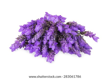 bundle of lavender flowers isolated on white background - stock photo