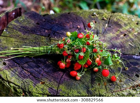 Bundle of red ripe wild strawberry lying on the old tree stump in the forest - stock photo