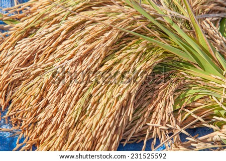 bundle of rice on the rice field - stock photo