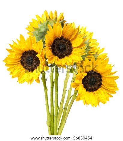 Bundled bouquet of fresh sunflowers isolated on white background.