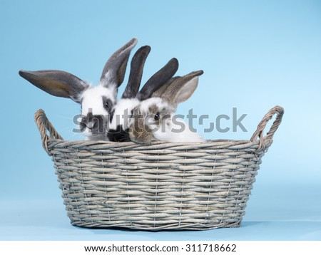 Bunnies in a basket. Image taken indoor with a light blue background.  - stock photo
