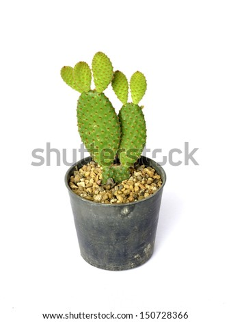 Bunny ears cactus in a pot. on white background - stock photo