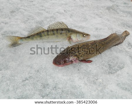 Burbot and zander catch on the river Ob - stock photo
