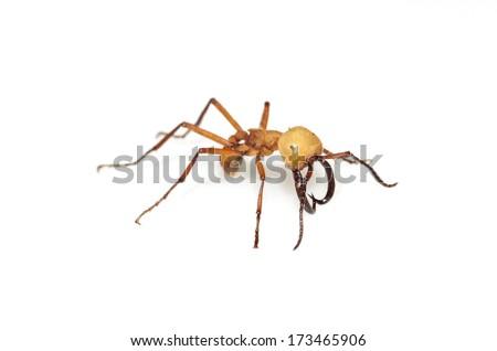 Burchell's army ant (Eciton burchellii) - stock photo