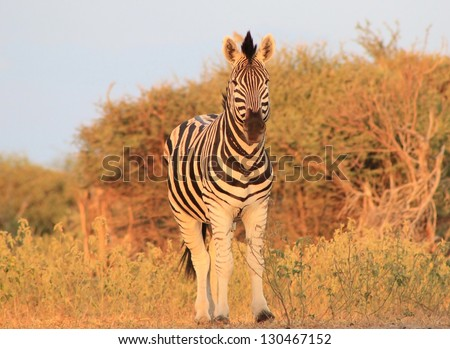Burchell's Zebra as seen on a game ranch in Namibia - The herd Stallion looks on, protective over his herd. - stock photo