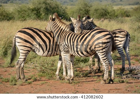 Burchellâ??s zebra breeding herd showing affection to each other - stock photo