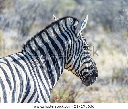 Burchell's zebra (Equus burchelli) in Etosha National Park - Namibia, South-West Africa