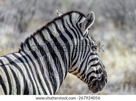 Burchell's zebra (Equus burchelli) in Etosha National Park - Namibia, South-Western Africa - stock photo