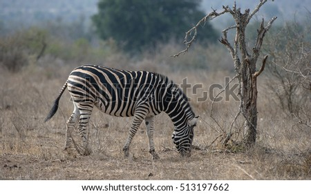 Burchell's zebra (Equus burchelli)  Kruger National Park, South Africa