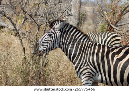 Burchell's Zebra in Africa - stock photo