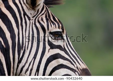 Burchell's Zebra in Hluhluwe-iMfolozi Game Reserve in KwaZulu Natal region of South Africa - stock photo