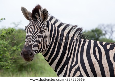 Burchell's Zebra. South Africa, Kruger National Park. - stock photo