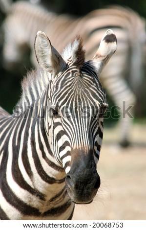 Burchell's zebra was guarded, closely examines savanna - stock photo