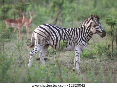 Burchell's zebra with two antelopes in background. Hluhluwe-Umfolozi National Park. Zululand. South Africa. - stock photo