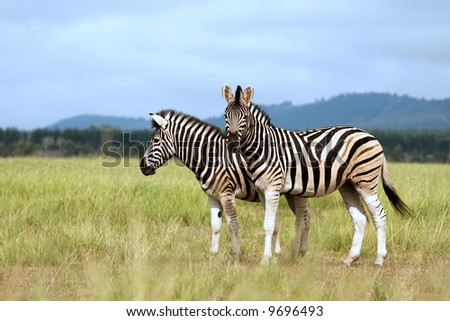 Burchell's zebras - stock photo