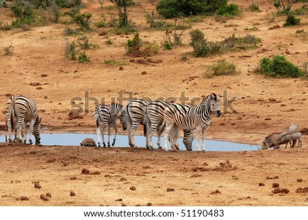 Burchell's zebras at watering place - stock photo