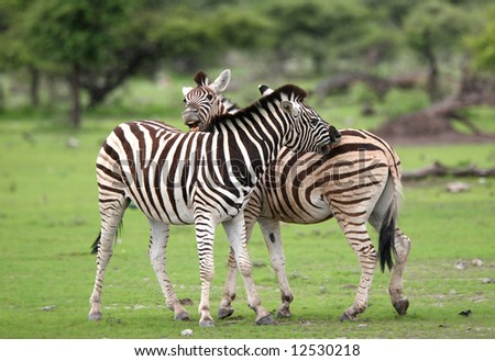 Burchell's zebras in love. Etosha National Park. Namibia - stock photo