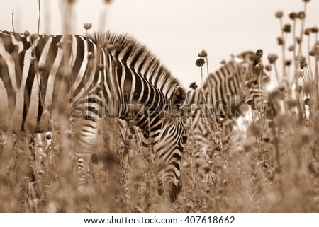 Burchell zebra in the pink thisle flowers in the eastern cape,south africa - stock photo