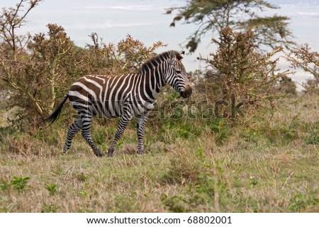 Burchelli's Zebras in profile against the background of savanna bush. - stock photo