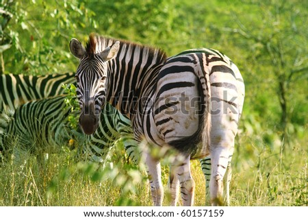 Burchells Zebra, back turned, in Hluhluwe Game Reserve South Africa - stock photo