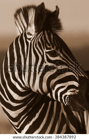 Burchells zebra portrait, monochrome / black and white conversion. Taken in Addo Elephant national park, eastern cape,south africa