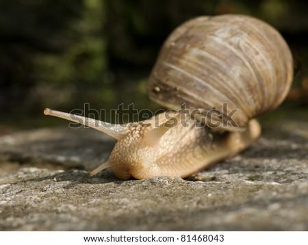 Burgundy snail (Helix pomatia) - stock photo