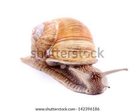Burgundy snail (Helix  Pomatia) isolated over white - stock photo