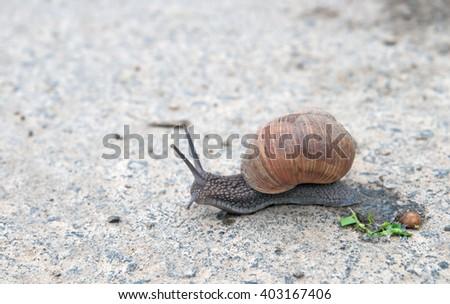 burgundy snail (Roman snail, edible snail, escargot) (Helix pomatia) on the road - stock photo