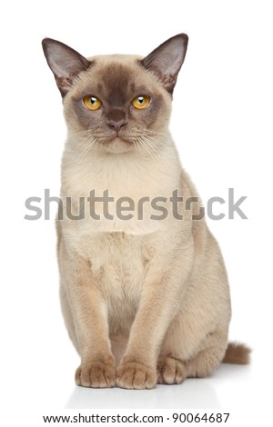 Burma cat sits on a white background