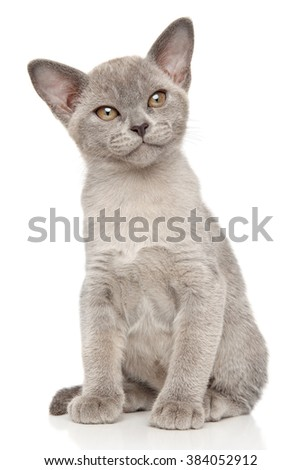Burmese Burma cat on white background - stock photo