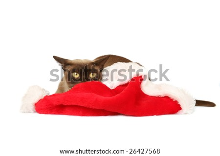 Burmese cat hiding behind Christmas hat