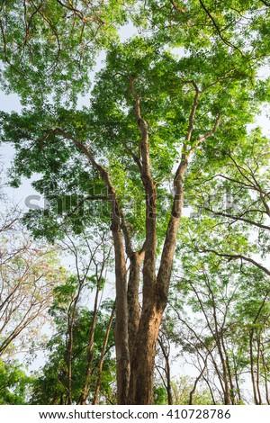 Burmese Ebony  tree forest - stock photo