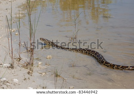 Burmese Python in the Everglades - stock photo