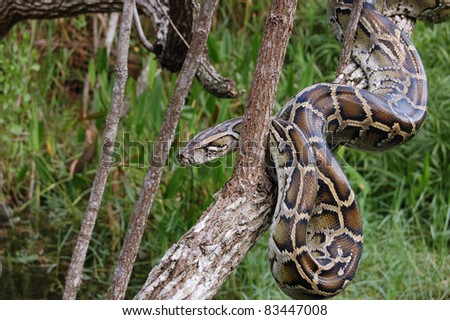 Burmese Python in the Everglades