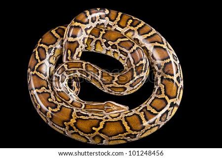 Burmese python (Python molurus bivittatus) isolated on black background. - stock photo