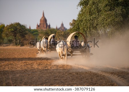 Burmese rural transportation with two white oxen pulling wooden cart on dusty road track heading to pagodas at Bagan, Myanmar (Burma). - stock photo