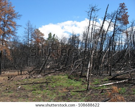 Burned forest trees after fire on blue sky background