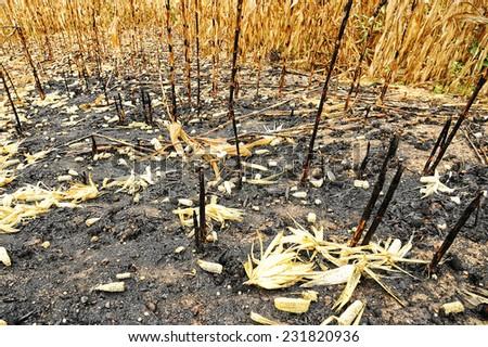 Burning of plantation area - stock photo
