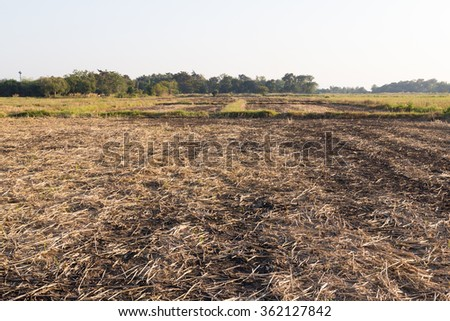 burning rice field after harvesting